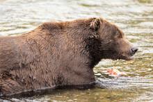 Wild Brown Bear Eating Fresh C...