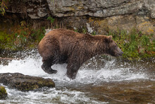 Wild Grizzly Bear Running And ...