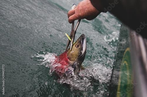 Wild sockeye salmon red in color caught on a lure in an Alaskan river Fototapeta