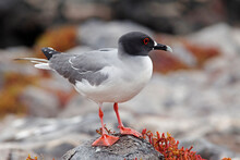 Seabird On Rock, Ecuador