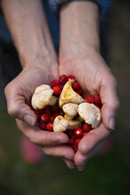 Hands Holding Wild Strawberries And Mushrooms, Sweden