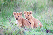 Lion Cubs Together, Kenya