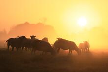 Sheep Grazing At Sunrise In Mist