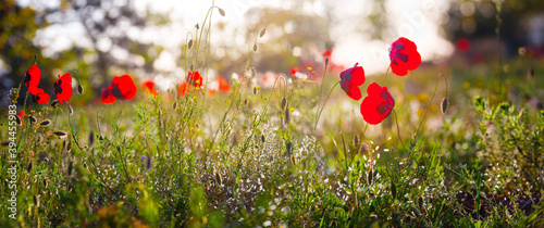 Fototapeta closeup red poppy flowers in a prairie, natural background