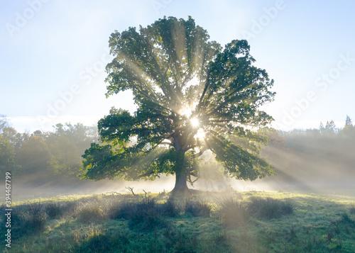 Photo Oak tree erupting with light morning