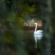 Swan On Bake, Sweden