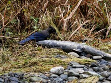 Steller's Jay Looking For Food Near The Water Stream During Salmon Run In Goldstream Park, Victoria BC