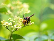 Japanese Giant Hornet Or Murder Hornet 1