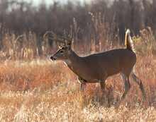 White-tailed Buck Running Through Tall Grass
