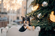 dog in winter in a decorated city. nice Tricolor Border Collie by the Christmas tree.