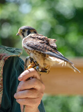 Small American Kestrel On The Hand Of A Bird Lover And Handler