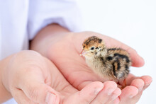 Quail Hatched From Eggs, Standing On The Hands.
