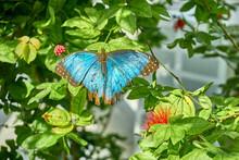 Blue Morpho Butterfly Onto Gre...