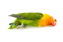 Parrot Lovebird Dead On White Background