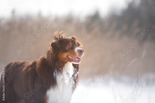 Obraz Dog in the winter in nature. australian shepherd on the snow - fototapety do salonu
