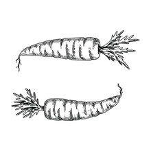 Hand Drawn Black And White Crosshatch Vector Illustration Of Two Carrots. No Background.