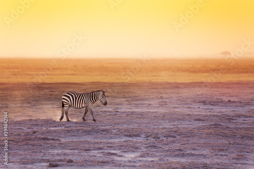 Fototapeta premium One zebra walking in search of food at the savannah of Amboseli National Park