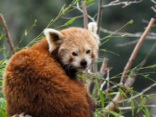 Red Panda Peering Between Tree...