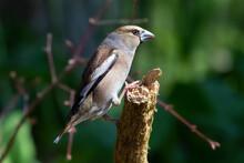 シメ Hawfinch
