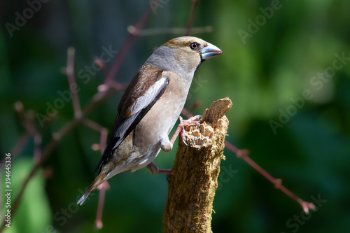 Photo シメ Hawfinch