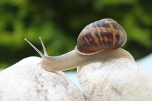 Land Snail In A Shell Against ...