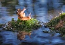 Snails Mating On Moss Over Lake