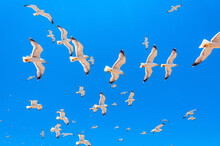 A Flock Of White Seagulls With...