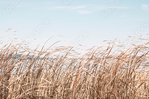 Foto Dry sedge grass flutters in the wind next to a lake or river