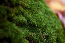 Thick Green Moss On Oak Bark
