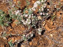 Red Dodder (Cuscuta Planiflora)