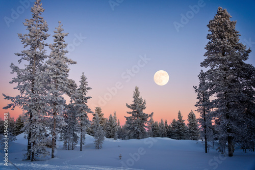 Landscape of snowy trees in winter in Lapland, Finland with moon rising at dusk - fototapety na wymiar