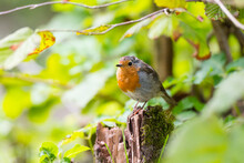 European Robin Sitting In The Bushes Looking At Camera In The Triglav National Park In Slovenia