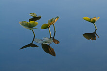 Landscape Of Water Lily Pads And Their Reflections In Calm Water, Hall Lake, Yankee Springs State Park, Michigan, USA