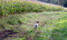 Full Length Of A Dog Running Through A Corn Field