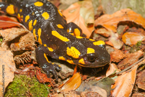 Canvas Print salamandra salamandra, spotted salamander