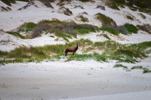 Blesbok Antelope At Cape Of Good Hope Nature Reserve, South Africa.