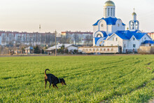 A German Pinscher Is Playing On The Field Next To The Church.