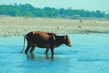 Cow Crossing The River.