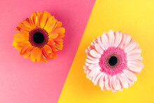 Pink Gerbera On A Yellow Background, Orange Gerbera On A Pink Background. Two Backgrounds. Two Bright Flowers
