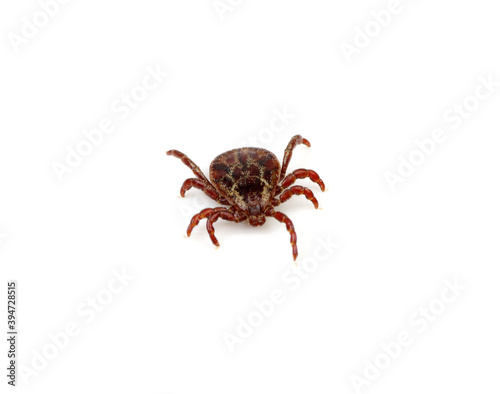 Tick insect isolated on white