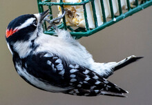 Downy Woodpecker Clings To The...