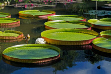Victoria Regia (Victoria Amazonica) Leaves And Flower On Lake
