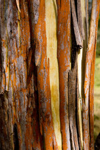 Close Up Of Strips Of Orange And Brown Bark Peeling Off A Yellow Tree Trunk