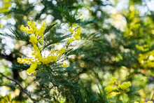 Green And Gold Wattle Flowers ...