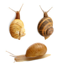 Collection Of Common Garden Snails On White Background