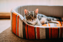 Tabby Cat In A Striped Bed