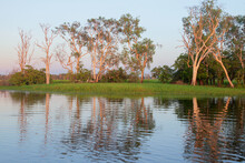Paperbarks At Yellow Water Bil...