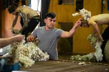 Young Maori Man Wool Classing In Shearing Shed