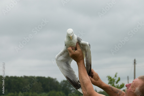 Fototapeta a man holds a seagull and examines a sick wing. bird rescue