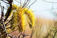 Close Up Of Yellow Hakea Flowers